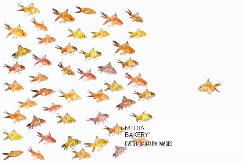 Large group of goldfish facing one lone goldfish