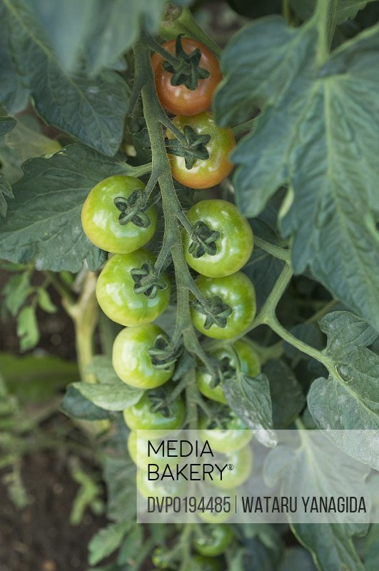 Tomatoes on vine