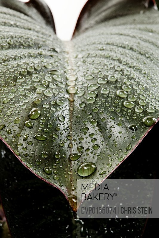 Wet rubber plant leaf  on a white background in studio