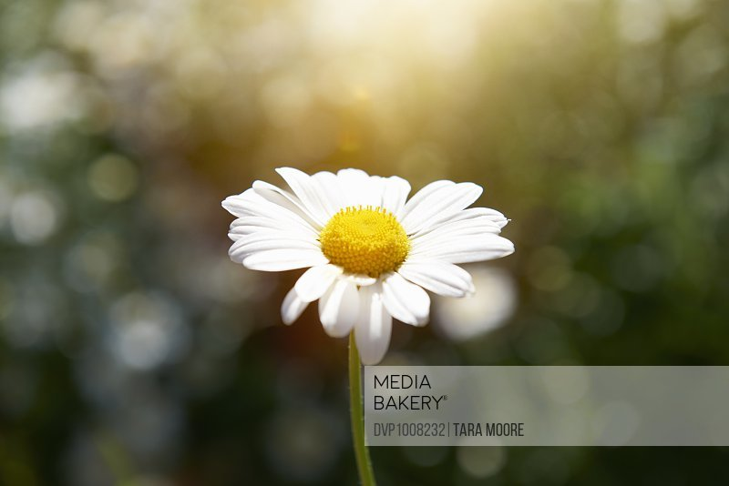 Daisy flower with blurred nature background