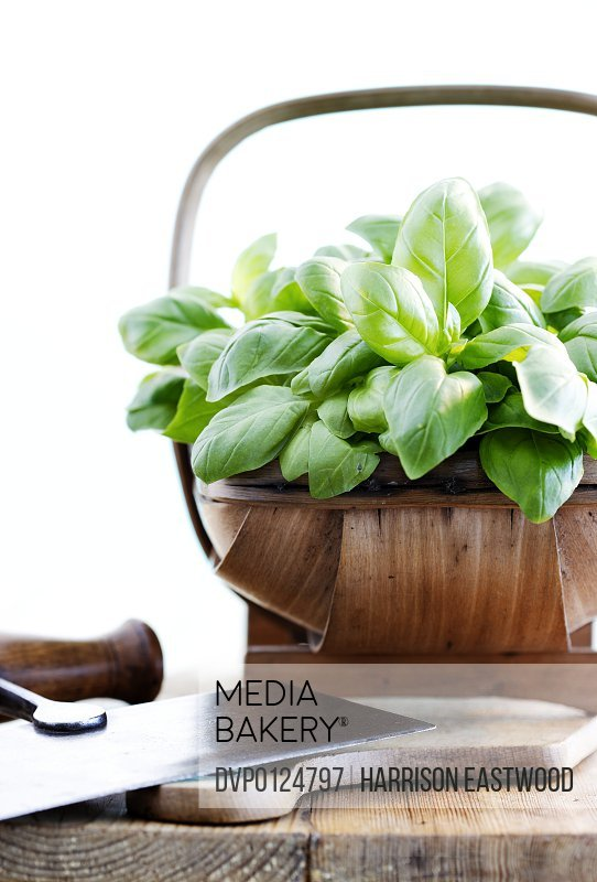 Bunch of fresh basil in small wooden trug on kitchen table