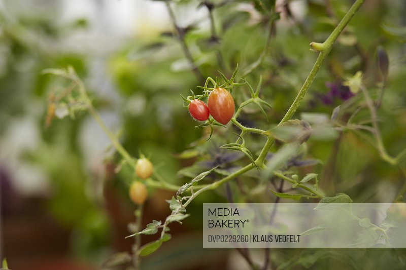 Close-up of mini tomatoes inside greenhouse
