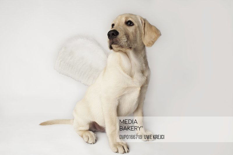 Blond Labrador Puppy wearing feather wings