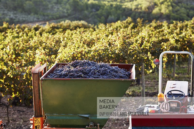 Grapes on tractor container in vineyard
