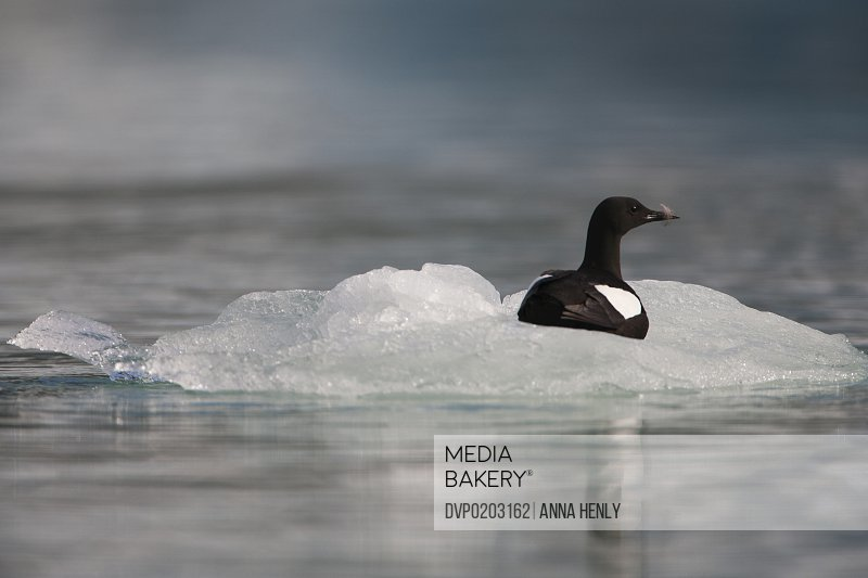 Black guillemot with feather on ice floe in Arctic