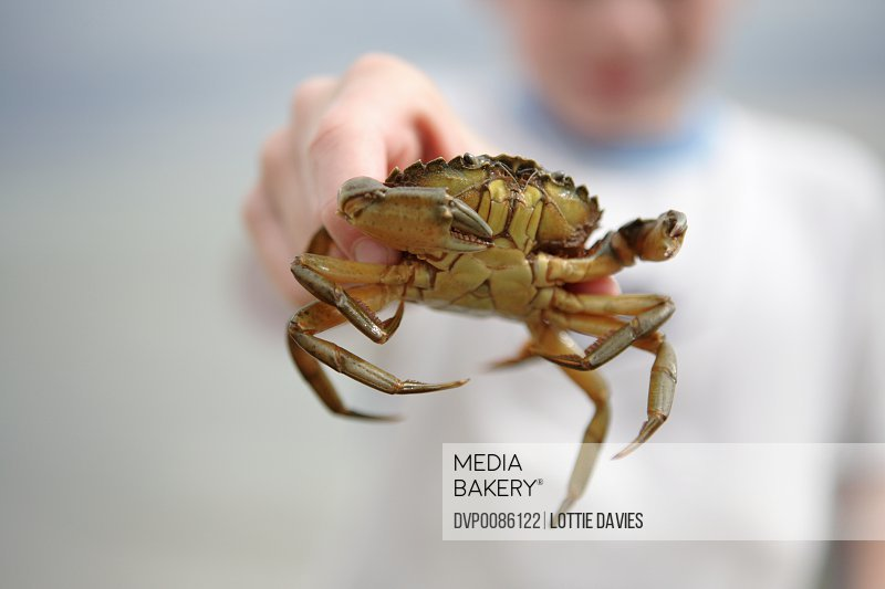 Boy (7-9) holding out crab (focus on crab)