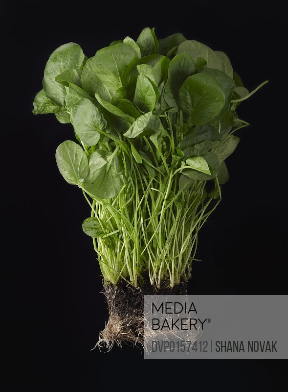 Fresh watercress still attached to its roots