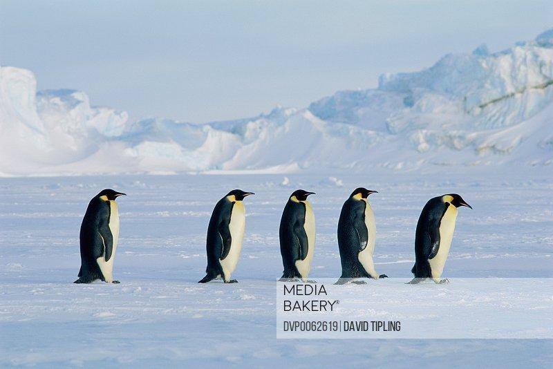 Five Emperor penguins (Aptenodytes forsteri)