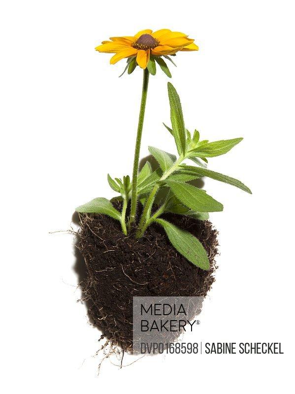 yellow flower in soil studio shot