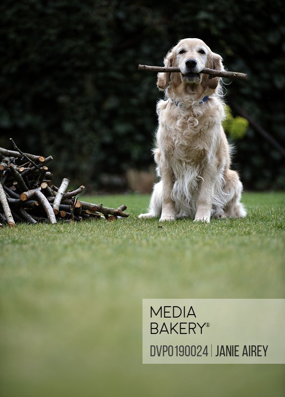 Dog sitting on grass holding stick in mouth selective focus