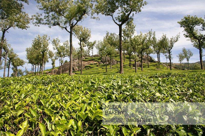 Tea Plantations in the Kerala highlands