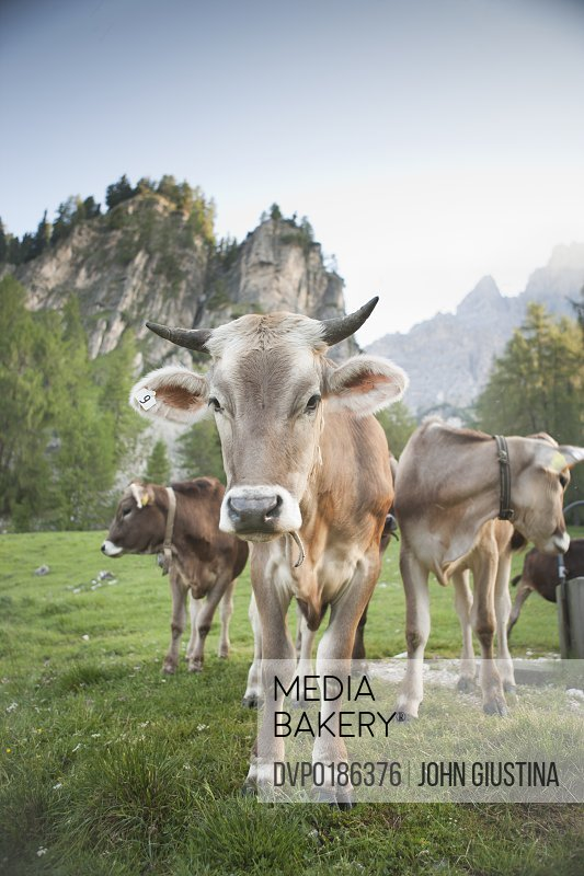 Alpine Brown Cow stands in a meadow in the Dolomite Alps
