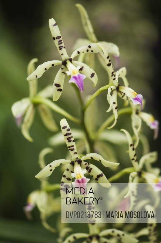 Encyclia Prismatocarpa Spotted Orchid Group