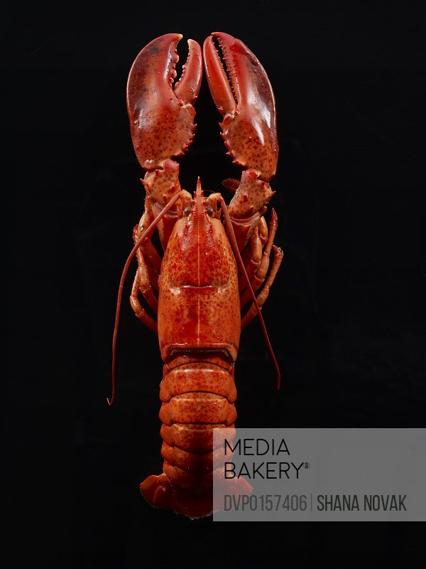 whole steamed lobster ready to eat