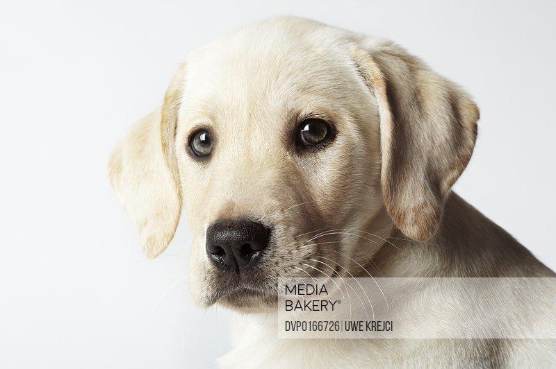 Portrait of blond Labrador Retriever Puppy