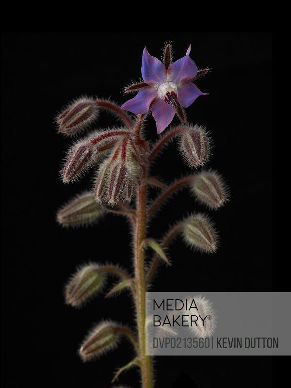 borage plant on black background