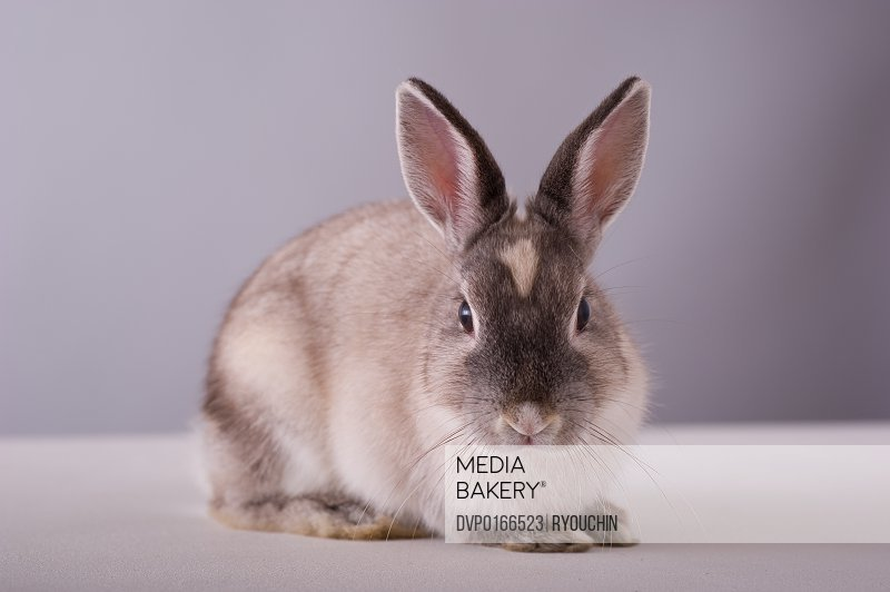 rabbit simple background animal white table