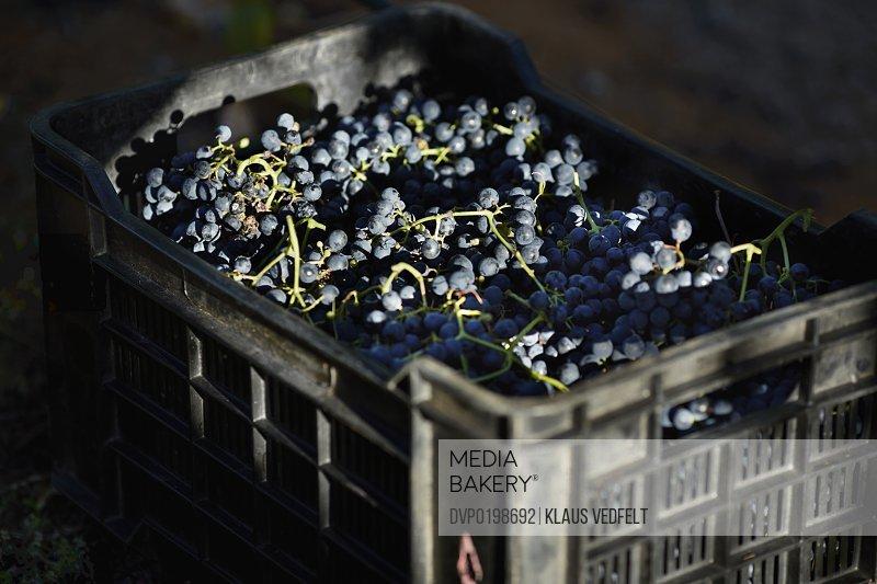 Box of Petit Verdot grapes