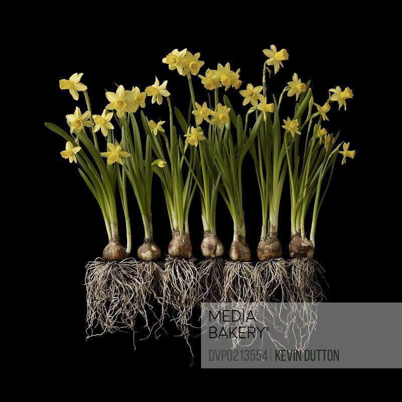 Daffodils or Narcissi