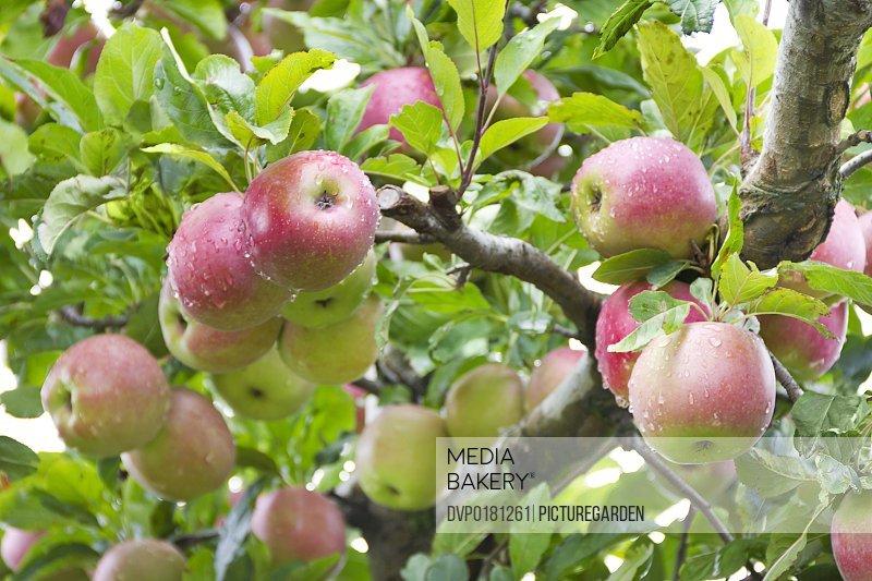 ripe wet apples on tree after rain
