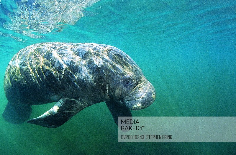 Dugong or Seacow