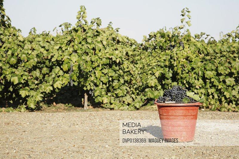 Zinfandel grapes in bucket in vineyard