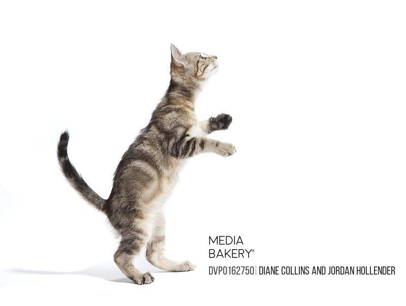 Kitten standing on back paws