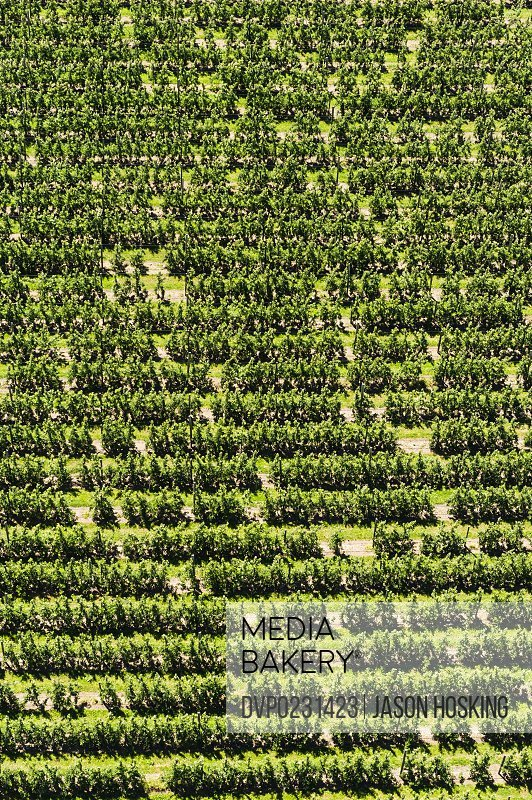 Aerial view of fruit trees in large orchard