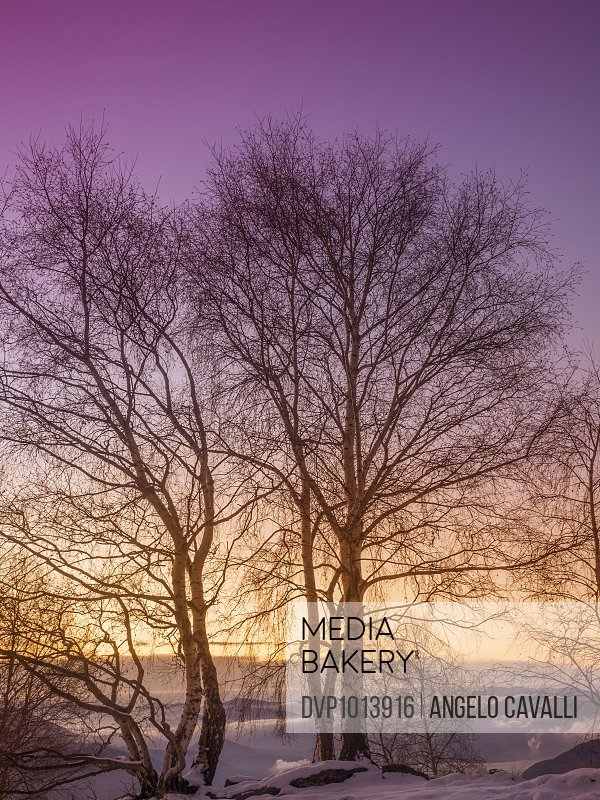 Birch trees in the snow at sunrise