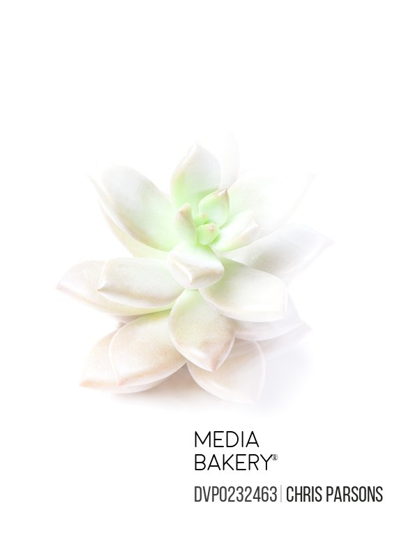 Succulent plant on white
