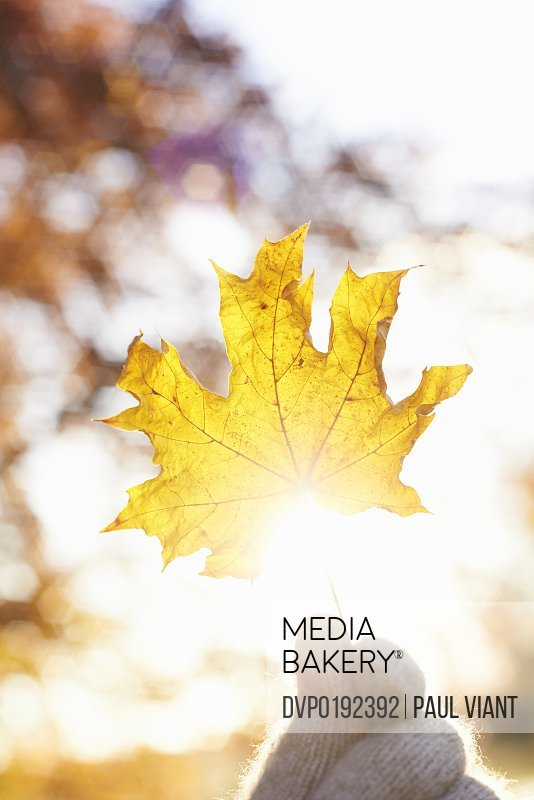 maple leaf being held up towards sun