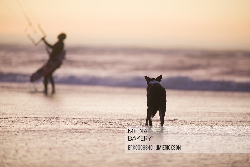 Dog watching a kite surfer on a coast of a remote sandy beach.