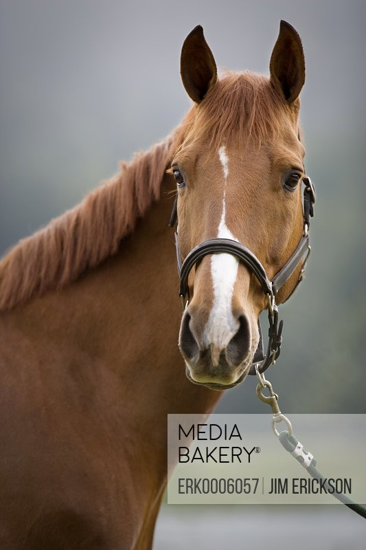 Portrait of a brown horse wearing a bridle.