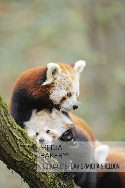 Red panda (Ailurus fulgens) youngster with mother on a bough