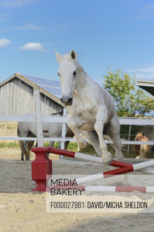 Gray horse jumping in a show-jumping course, portrait