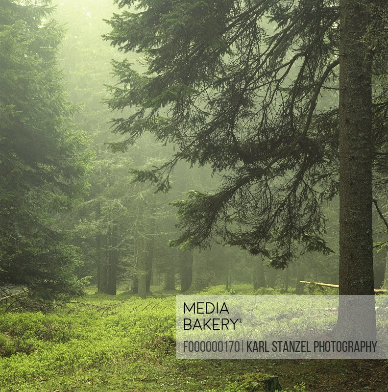 Coniferous trees covered with fog