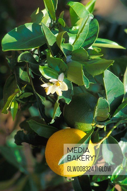 Close-up of a lemon tree