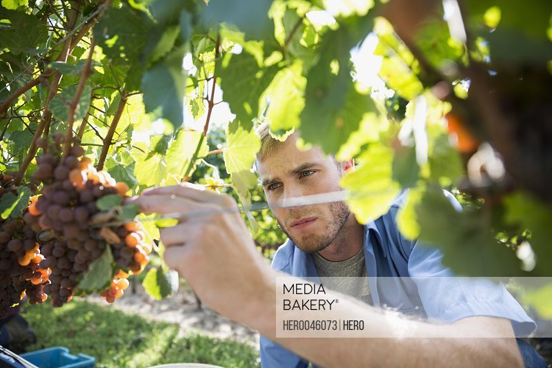 Male vintner checking grape bunches on grape vines in vineyard