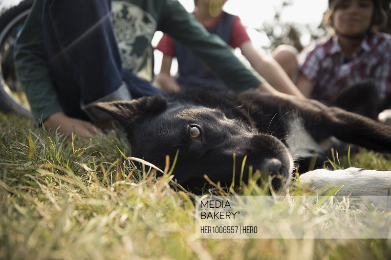 Portrait black and white dog laying in grass