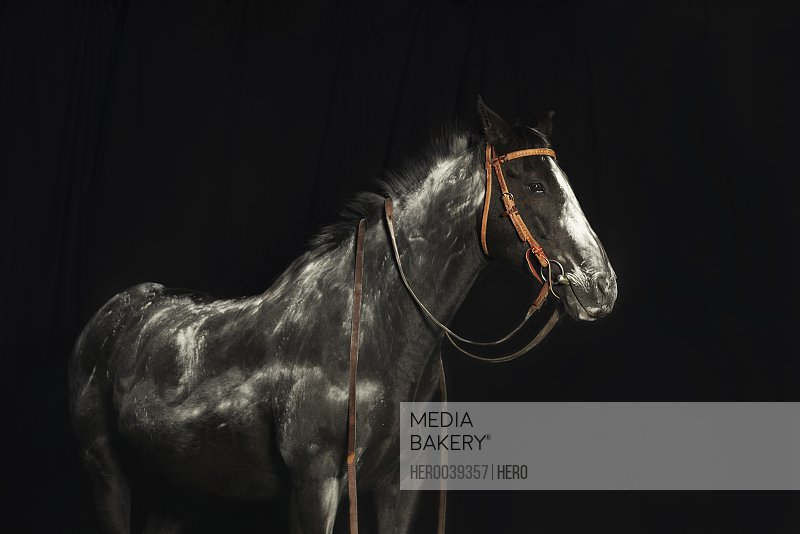 Black and white horse against black background