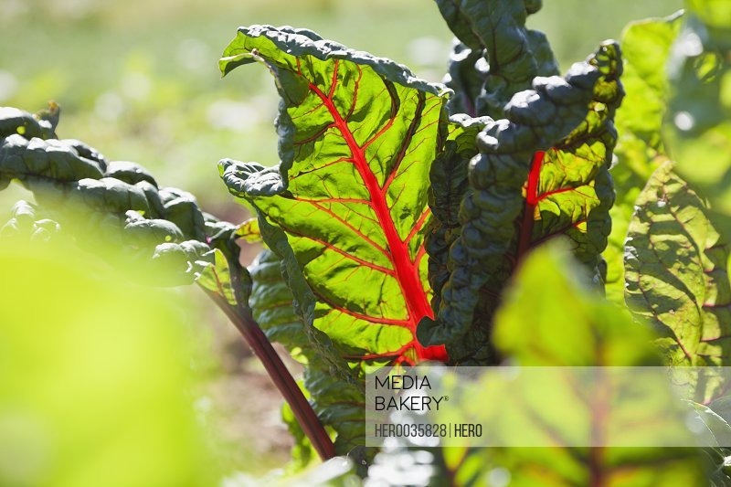 Close-up of chard leaves in field