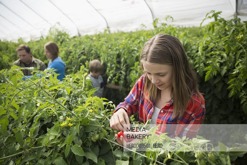Girl picking tomatoes in greenhouse