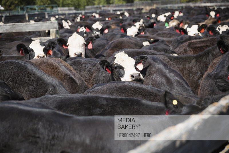 Tagged black and white cows on cattle ranch