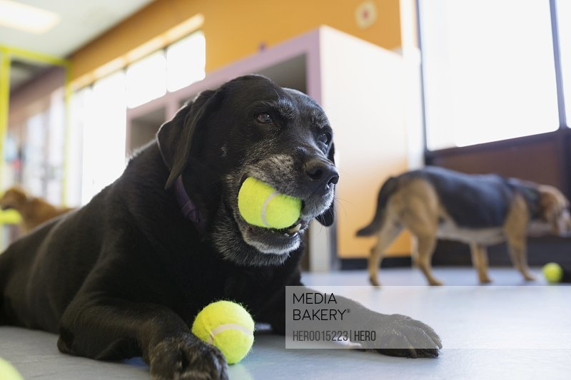 Black Labrador Retriever chewing tennis ball