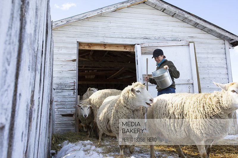 Female farmer tending to sheep outside barn