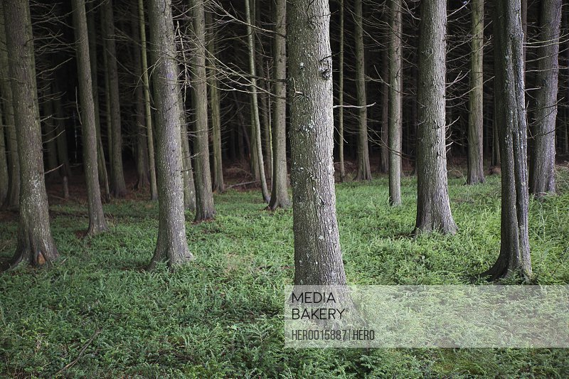 Trees and undergrowth in woods