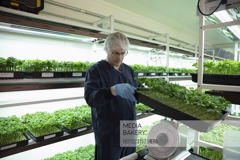 Grower inspecting and weighing cannabis seedlings in incubation