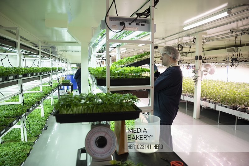 Grower checking cannabis seedlings in incubation