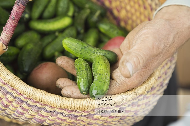 Mans hands holding fresh pickling cucumbers