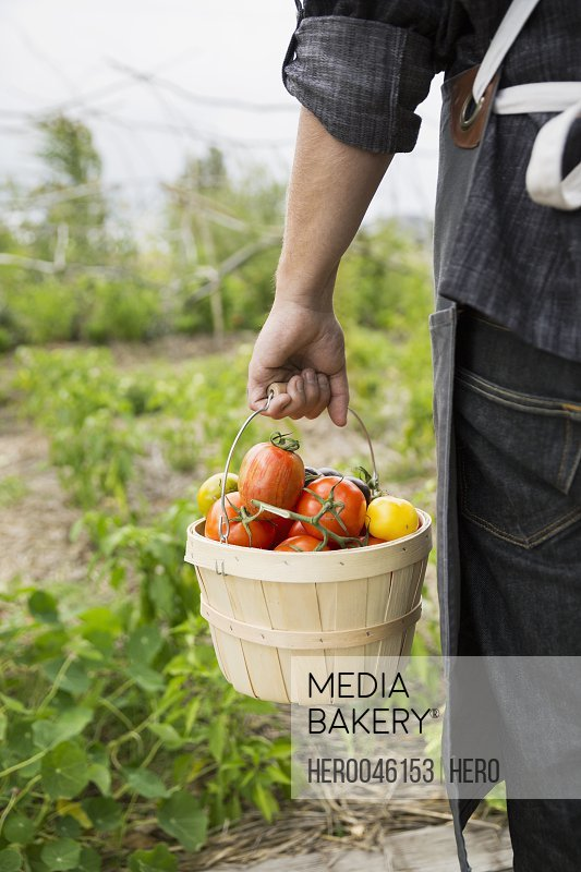 Farm-to-table chef carrying bushel of fresh harvested tomatoes in vegetable garden